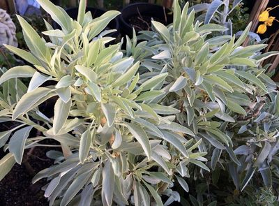 White Sage - What is White Sage? including cooking, as